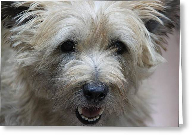 Cairn Terrier - Best Little Pal In The World... Greeting Card by  Andrea Lazar