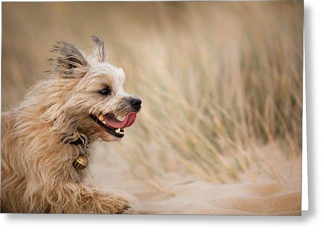Cairn Terrier In Sand Dunes Greeting Card by Izzy Standbridge