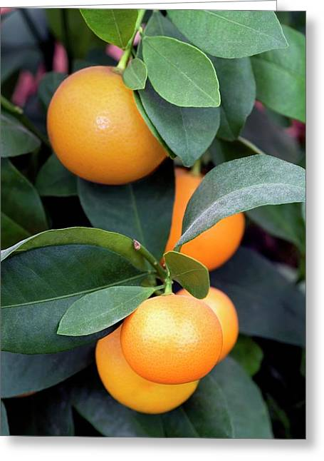 Calamondin (citrus Madurensis) Greeting Card by Brian Gadsby/science Photo Library