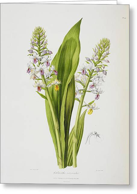 Calanthe Versicolor Greeting Card