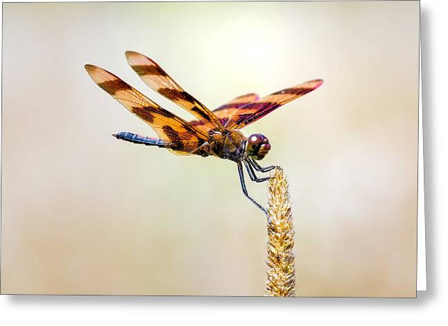 Calico Pennant Dragonfly Greeting Card by Bill Tiepelman