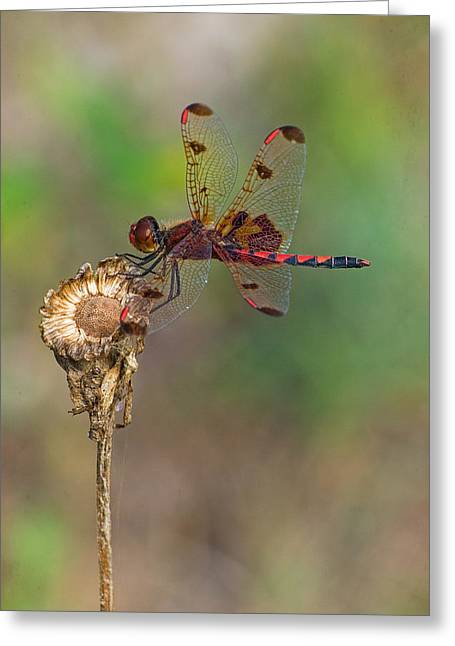 Calico Pennant On Dried Flower Greeting Card