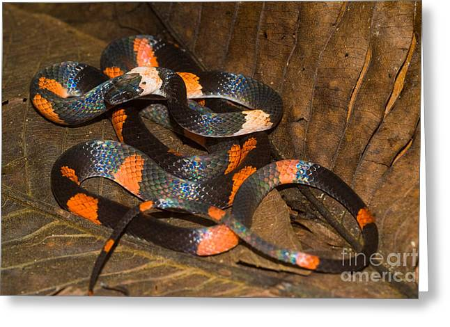 Calico Snake Greeting Card