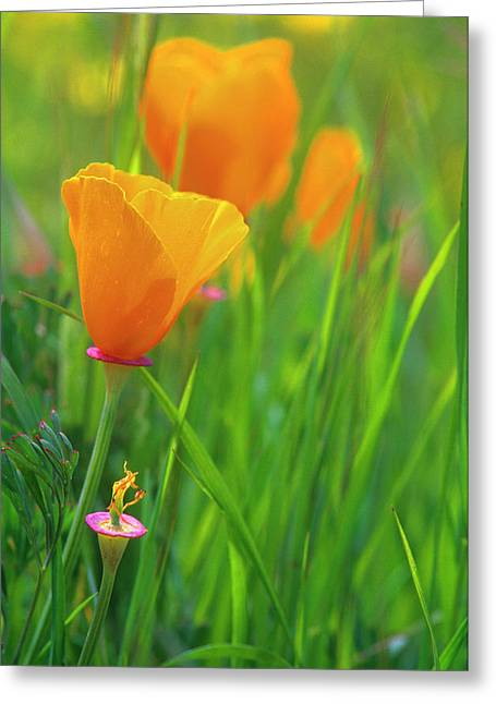 California Golden Poppies In A Green Greeting Card by John Alves