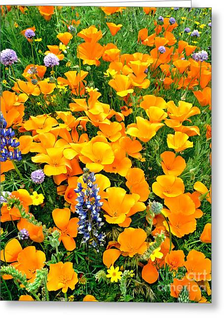 California Poppies And Betham Lupines Southern California Greeting Card