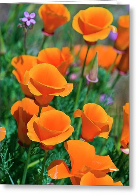 California Poppies (eschscholzia Greeting Card
