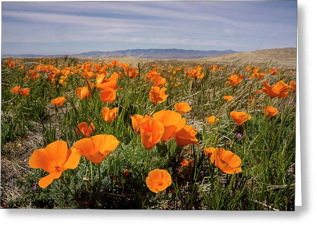 California Poppies In Bloom, Lancaster Greeting Card by Rob Sheppard