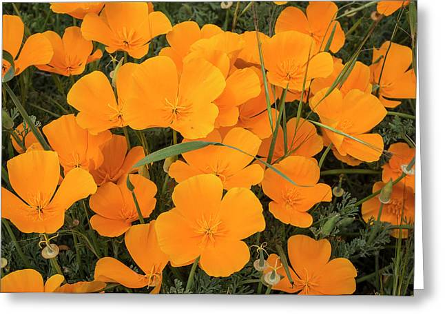 California Poppies In Montana De Oro Greeting Card by Rob Sheppard
