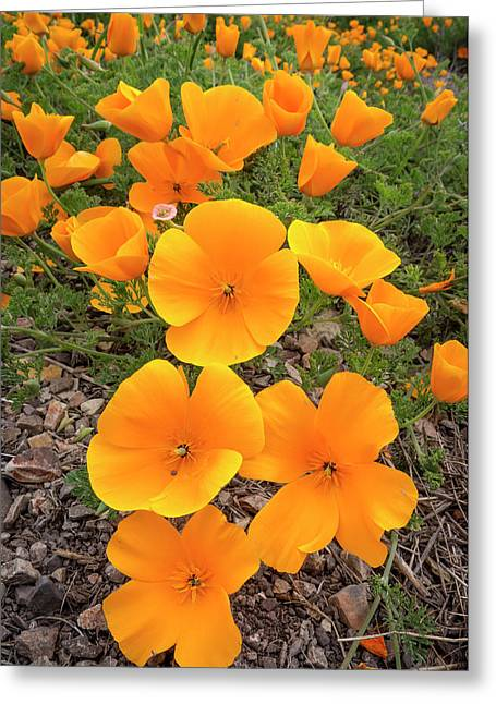 California Poppies, Montana De Oro Greeting Card by Rob Sheppard