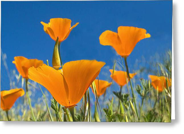 California Poppy 2 Greeting Card by Rima Biswas