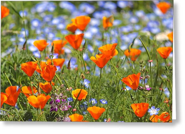 California Poppy Field Greeting Card