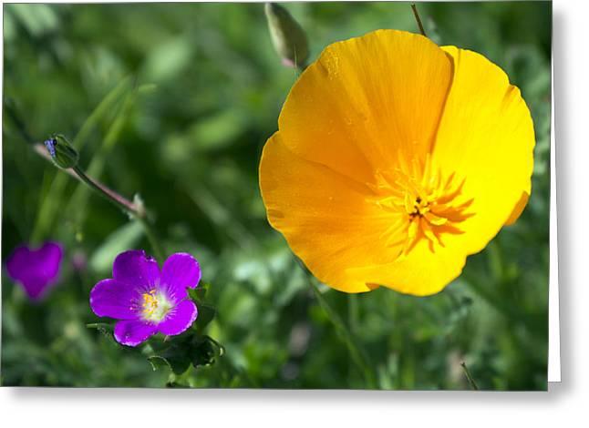 California Poppy Greeting Card