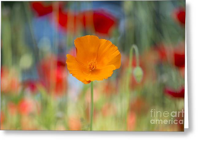 California Poppy Greeting Card by Tim Gainey