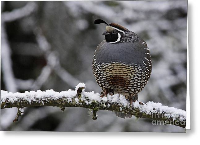 California Quail Greeting Card by Inge Riis McDonald