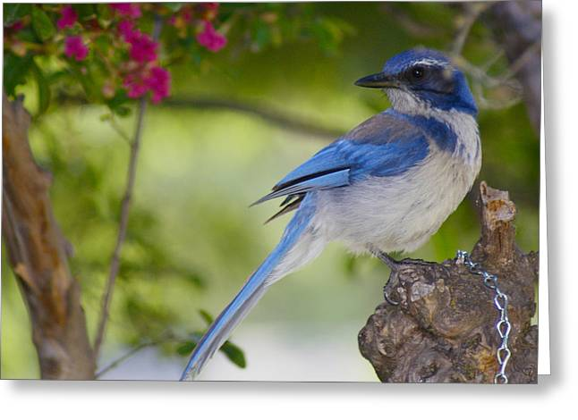 California  Scrub Jay Greeting Card