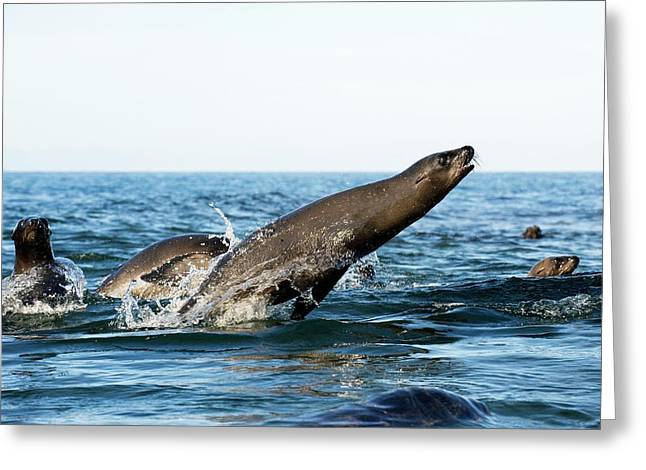 California Sea Lion Breaching Greeting Card by Christopher Swann