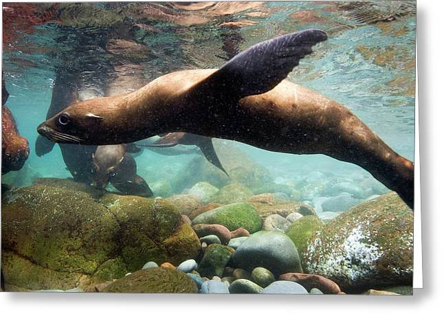California Sea Lion In Shallow Water Greeting Card by Christopher Swann