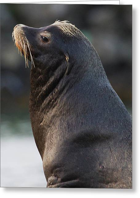 California Sea Lion Greeting Card by Ken Archer