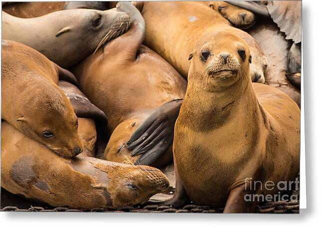 California Sea Lion Looking At You Greeting Card by Natural Focal Point Photography
