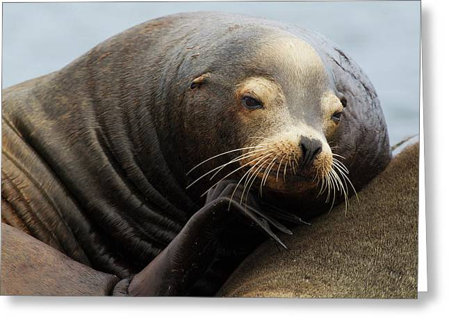 California Sea Lion Resting Greeting Card by Ken Archer