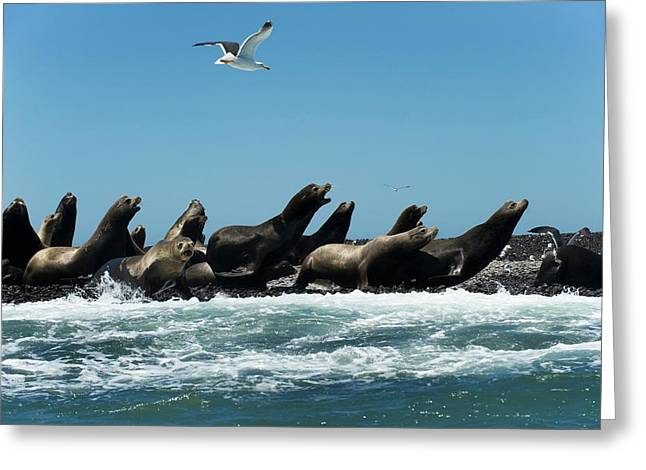 California Sea Lions Greeting Card by Christopher Swann