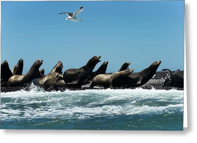 California Sea Lions Greeting Card