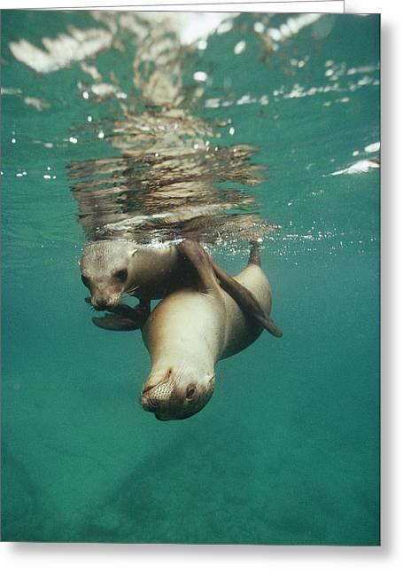 California Sea Lions Playing Sea Greeting Card