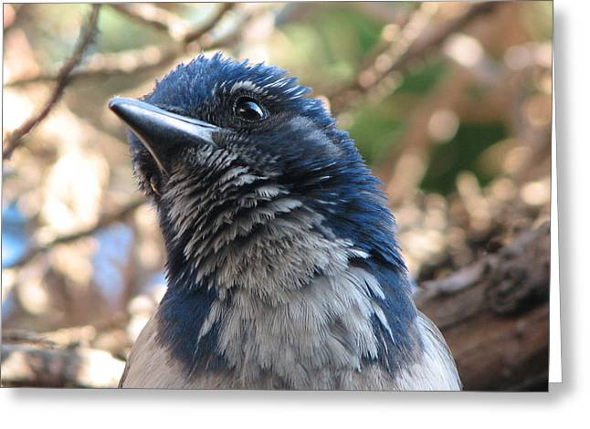 California Western Scrub Jay Greeting Card
