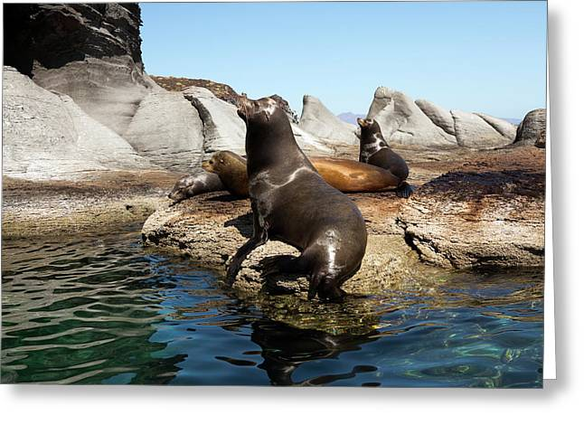 Californian Sea Lions Greeting Card