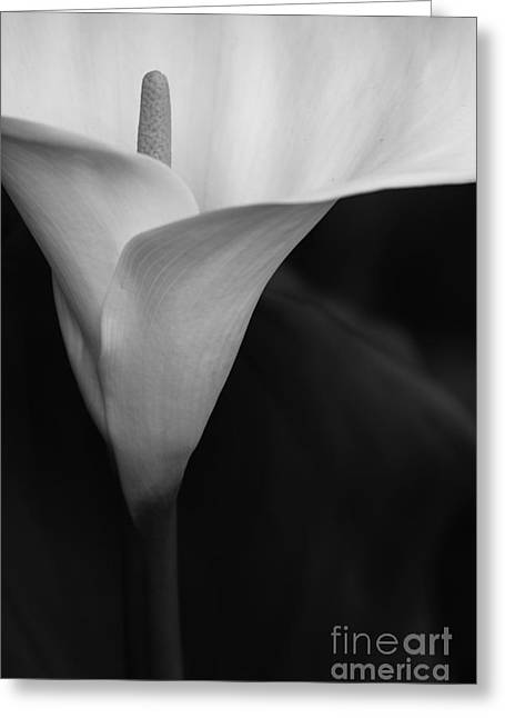 Calla Lily Corner Greeting Card