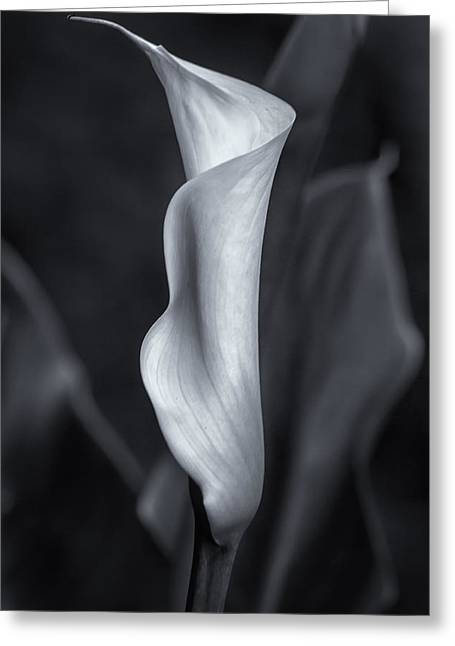 Calla Lily No. 2 - Bw Greeting Card