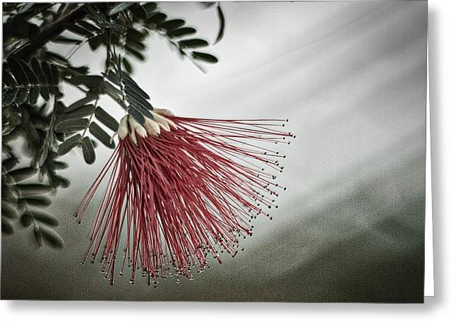 Calliandra Californica Greeting Card