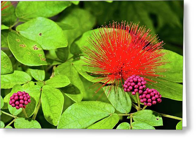 Calliandra Emarginata In Flower Greeting Card