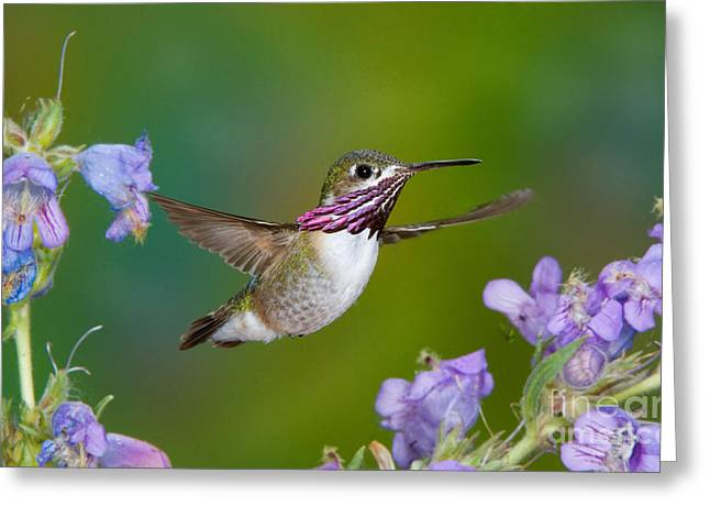 Calliope Hummingbird Greeting Card by Anthony Mercieca