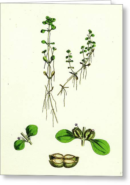 Callitriche Platycarpa Large-fruited Water Starwort Greeting Card by English School