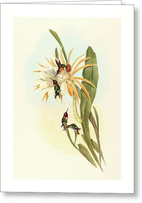 Calothorax Heliodori Greeting Card
