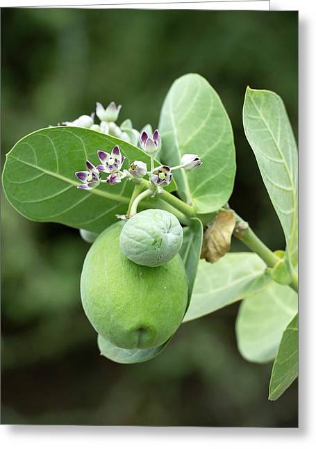 Calotropis Procera Plant With Fruit Greeting Card by Tony Camacho