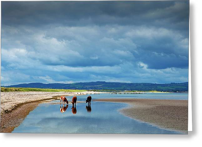 Calves On The The Cunnigar, Dungarvan Greeting Card by Panoramic Images