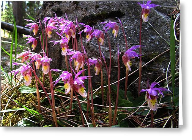 Calypso Orchids Greeting Card