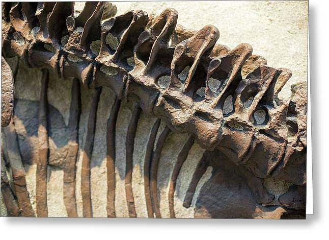 Camarasaurus Dinosaur Fossil Greeting Card by Jim West
