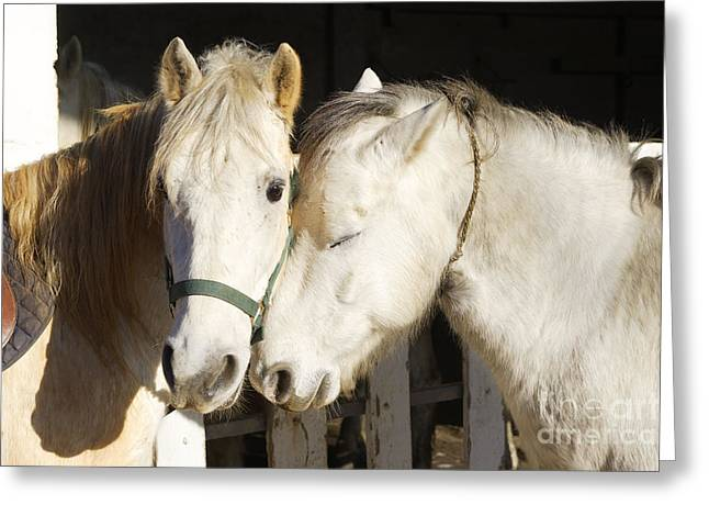 Camargue Horses Nuzzling Greeting Card by M. Watson