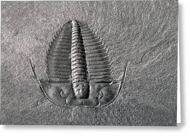 Cambrian Trilobite Greeting Card by Sinclair Stammers