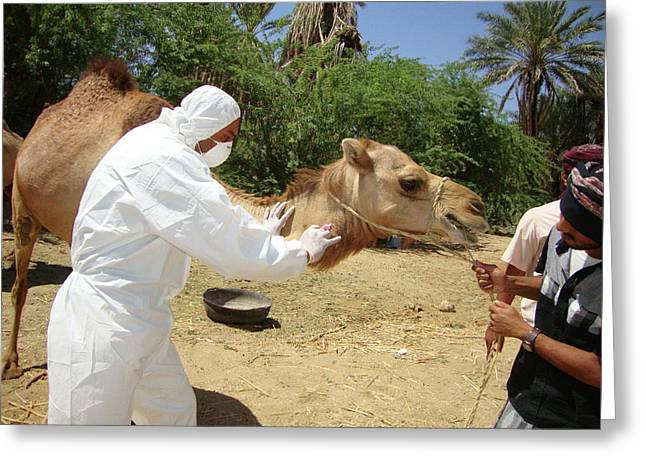 Camel Blood Sample Greeting Card by Cdc