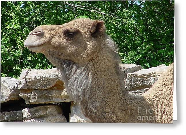 Camel Greeting Card by Gary Gingrich Galleries