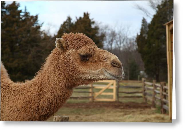 Camel - Mt Vernon - 01131 Greeting Card by DC Photographer