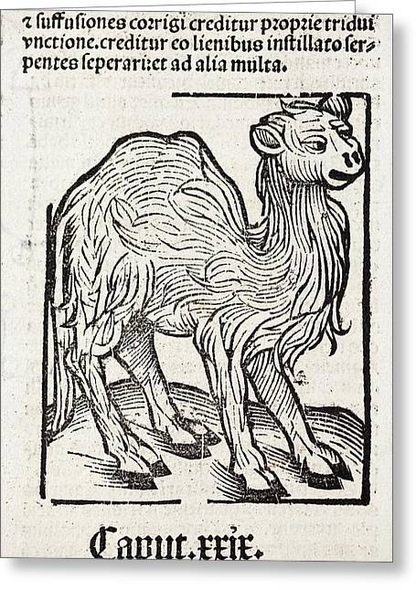 Camel Greeting Card by Paul D Stewart