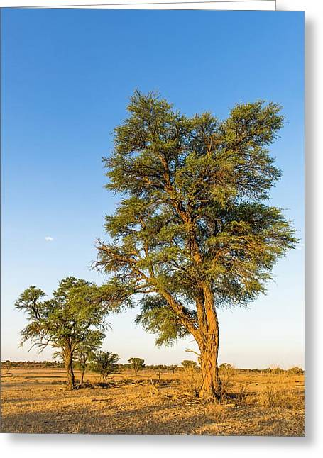 Camel Thorn Trees Greeting Card by Peter Chadwick