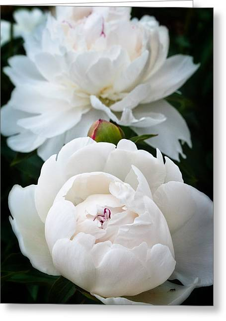 Camelia Greeting Card