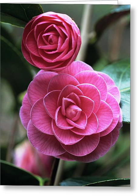 Camellia Flowers Greeting Card by Adrian Thomas/science Photo Library