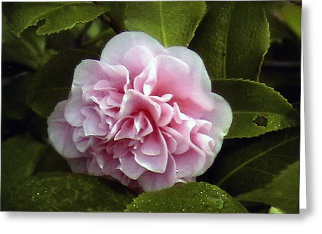 Camellia In Rain Greeting Card by Patrick Morgan